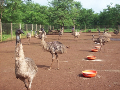 EMU BIRD FARM AT DEVPAT